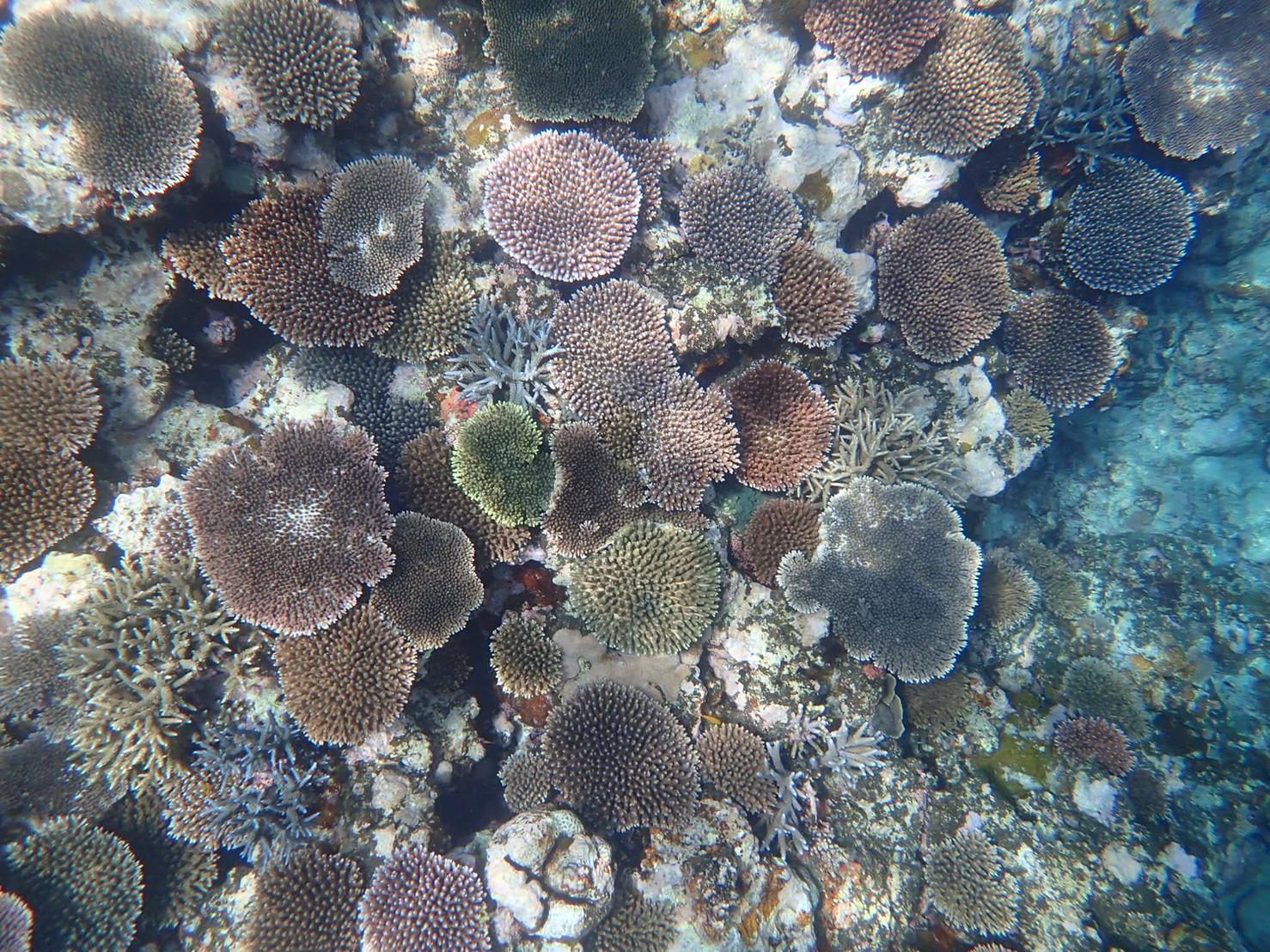 石垣島のサンゴ