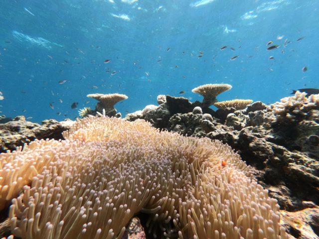 西表島の海、サンゴ、イソギンチャク