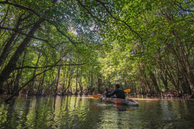 西表島のマングローブでカヌー体験
