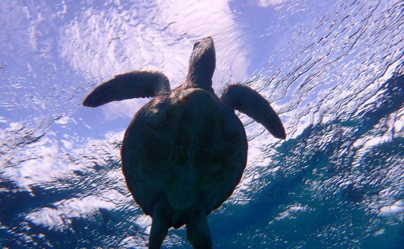 宮古島のウミガメ