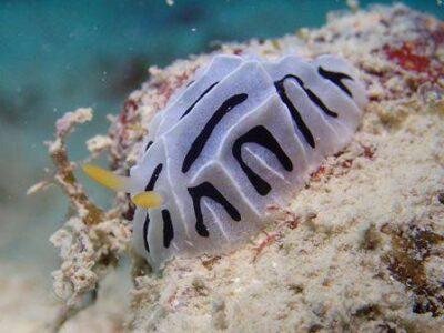 石垣島体験ダイビングでウミウシ発見