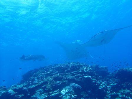 石垣島でマンタと泳ぐ