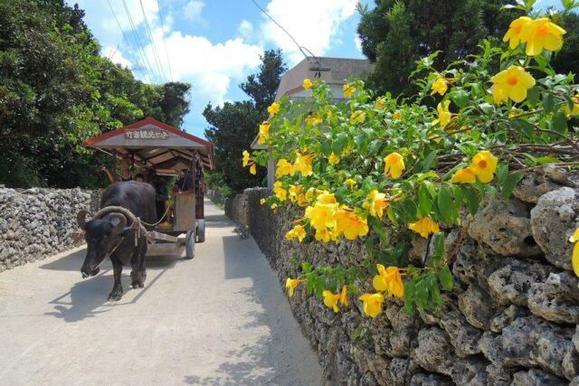 竹富島、水牛