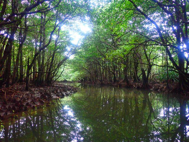 西表島 マングローブ河川