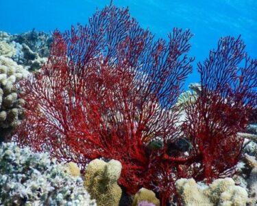 嘉比島 海の中 赤いサンゴ
